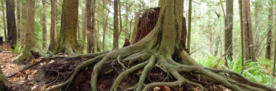 Exposed roots of a Western hemlock growing from a nurse log in Indianola, WA