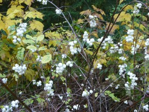 snowberries, image by Leslie Newman