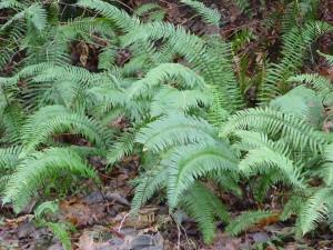 Western Sword Fern, Polystichum munitum