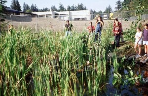Gathering Cattails at Suquamish Basket Marsh