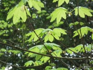 Vine Maple