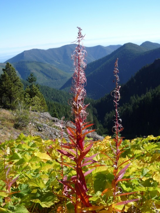 10-7-12-6 Mt T Fireweed